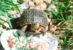 Box Turtle diet sheet
