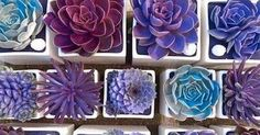 How to dye succulents with food coloring: My personal feelings about creating an artificial color. APPRECIATE NATURAL BEAUTY. So much today is fake. | Pinteres…