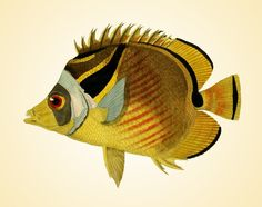 He encontrado este interesante anuncio de Etsy en https://www.etsy.com/es/listing/172701961/fish-vintage-art-prints-old-prints