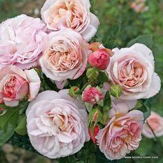 KORDES Rosen Herkules ® Die schönsten Rosen der Welt