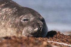 Cambria California:  home of the elephant seals.  http://www.ehow.com/how_6006344_see-elephant-seals-central-california.html