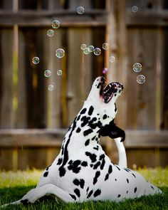 Cute dalmatian doggie trying to catch bubbles!