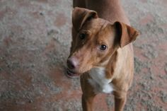 Melinda, a podenca dalle perreras / Melinda, a hunting dog from Spain, saved from the perreras