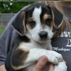 Puppies Need a Foster Home Starting 5/18 is an adoptable Corgi, Beagle Dog in Birmingham, MI Will be up for adoption starting 5/25/14Sorry no out of state adoptions. Need to live within  ... ...Read more about me on @Petfinder.com.com
