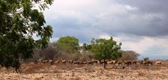 A herd of deer enjoying the shady weather, gather at the savanna. Baluran, Situbondo, East Java, Indonesia.