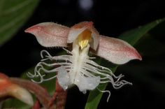 A bela e exótica Anoectochilus albolineatus é encontrada nas florestas da Birmânia, Tailândia e Malásia em altitudes que variam de 700 a...