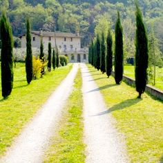 a driveway lined with Italian Cypress Trees Cypress Plant, Memorial Plants, Italian Cypress Trees, Cupressus Sempervirens, Popular Tree, Tree Sale, Mediterranean Garden, Shade Trees, Lush Garden