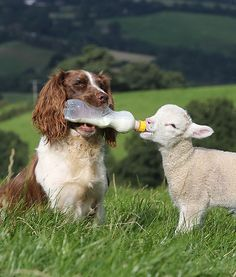 Caring springer spaniel And Bottle-Feed Baby Lamb
