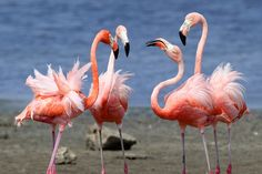 Flamingos by Kas van Zonneveld, via Flickr