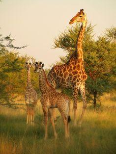 ☀Giraffes , Botswana.  by Anthony  Reed