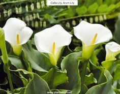 Calla Lily Arum #Lily Zantedeschia aethiopica Type: #Perennials from Rhizomes Exposure: Sun / Light Shade Water: Regular  This handsome native of South Africa forms a clump of shiny rich green arrow-shaped leaves that reaches 18in (45cm) high by a foot (30cm) wide. Graceful fragrant flowers rise on stalks 2ft (60cm) tall in late spring. Actually the characteristic white or cream flower is really a spathe or flower bract. The actual flower is inside the spathe on a central spike of tiny…