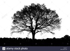 Download this stock image: Tree silhouette single  black and white line isolated remote alone winter stark solitary - C6AMY7 from Alamy's library of millions of high resolution stock photos, illustrations and vectors.