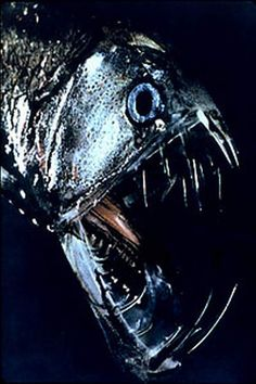 A viperfish, 2 foot of terrifying deep sea predator. Look at those astonishing teeth!  I will never swim in the deep parts of the ocean!