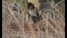 African Wild Dogs youngsters trying to cool down on a very hot African day.