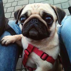 Super cute pug!!! #Pug