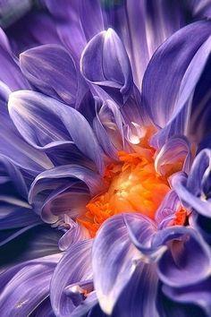 Stunning close up of a Dahlia flower.