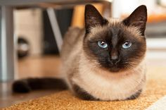 10 Best Siamese Cat Names Fluffy Cat Breeds, Large Cat Breeds, Siamese Cats, Cats And Kittens, Ragdoll Kittens, Funny Kittens, Bengal Cats