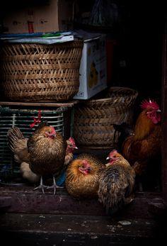 Tres gallinas francesas y sus amigos con canastas antiguas al fondo...