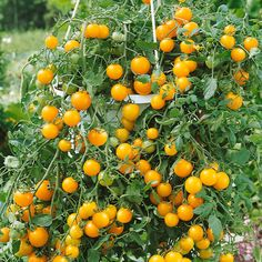 tumbling toms yellow at DuckDuckGo Home Garden Plants, Home And Garden, Tomato Seeds, Edible Garden, Planting Seeds, Hanging Baskets, Cherry Tomatoes, Wonders Of The World, Pumpkin