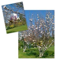 Våra magnolior våren 13
