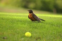 Robin at the golf course ❤