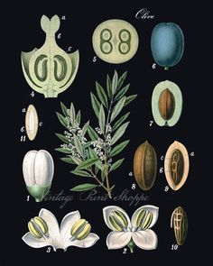 Olive Botanical prin