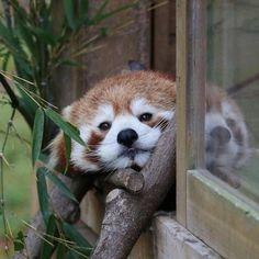 Red Pandas are so cute. https://ift.tt/2v9g5MF