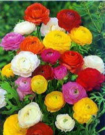 Ranúnculo, Ranúnculos, Francesilla, Francesillas, Marimoñas  Ranunculus asiaticus
