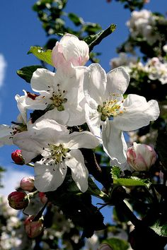 Apple blossom...Arkansas' State Flower