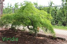 Acer Palmatum, Japanese Maple, Plants, Plant, Planets