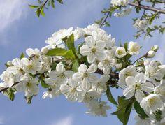 """A meggyfa virága  """"Újra születtünk Zöld lobogóval Lepkefogóval Táncra megint! Csókot a földnek, Csókot a fának, Csókot a rügynek, Mert a hatalmas Égi Jövendő Hírnöke mind!  Hallga, mi szépen Csendül a nóta, Csörtet a csermely, Csattan a csók! Messze az erdő Lombjai közt a Nyár keze int! – Hirdeti minden, Hirdetem én is, Itt a tavasz!""""   Dsida Jenő Tavaszi ujjongás című versének részlete"""