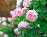 Sadové růže pro okouzlující, romantickou a voňavou zahradu Houseplants, Bauhaus, Roses, Gardens, Collection, Products, Flowers, Pink, Indoor House Plants