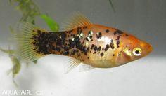 xiphophorus maculatus - Google Search