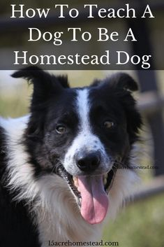 When you build on their basic dog training skills, a good homestead dog can offer so much more than simple companionship.