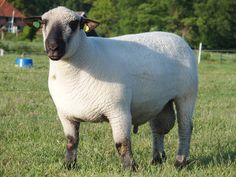 Import Irischman Corgis, Sheep, Lamb, Goats, Cute, Animals, Animales, Animaux, Kawaii