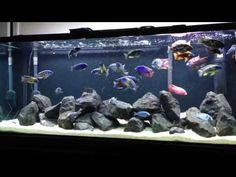 Very Active African Peacock and Hap Tank Crystal Clear Water + Feeding - YouTube