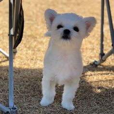 Cute Pomeranian mix dogs are the favorite choice of pets, and there are so many of these mixed breeds to choose so with this article, your search will be a lot easier. Pom Dog, Cute Pomeranian, Save A Dog, Getting A Puppy, Companion Dog, Lap Dogs, Little Dogs, Dog Toys, Pomeranians
