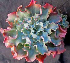The Succulent Garden nursery :: Succulents :: Echeveria