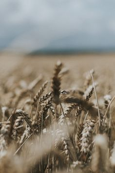 sand coloured and rough beauty of the corn on a large field in North Berwick, crisp in the warm sun of summer. Summer Photography, Photography Projects, Travel Around The World, Around The Worlds, Family Portraits, Portrait Photographers, Overlays, Crisp, Personal Style