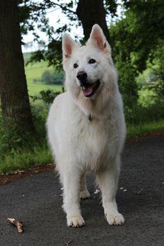 Lotte onze witte herder Cute Puppies, Dogs And Puppies, Doggies, Animals And Pets, Funny Animals, White Swiss Shepherd, Dog Stories, Schaefer, German Shepherd Puppies