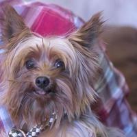 Colorado Springs Co Yorkie Yorkshire Terrier Meet Roscoe A