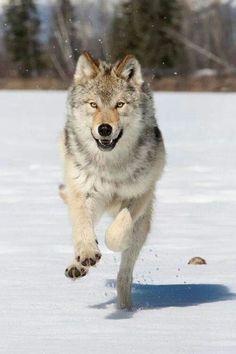 Wolves Running | Running Wolf