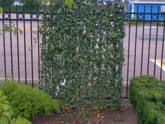 Instant Living Fence with Climbing Ivy