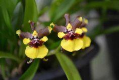 Orquídea Mini-Chocolate (Oncidium Croesus) - FazFácil