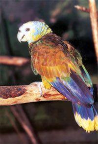 The St. Vincent Parrot (Amazona Guildingii)