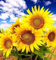 Sunflowers - Flowers Wallpaper ID 1826330 - Desktop Nexus Nature Sunflowers And Daisies, Yellow Flowers, Happy Flowers, Flowers Nature, Sun Flowers, Amazing Flowers, Beautiful Flowers, Tumblr Yellow, Sunflower Pictures