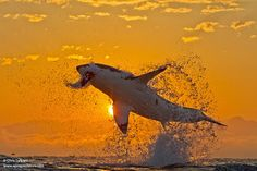 Photographing great white sharks for 20 years gives Chris and Monique Fallows front row seats on the amazing behavior and secrets of formidable predators few people see. In this post they share ten of their favorite images of great whites and describe the electric moment when each was made, when conditions came together for a photographic capture of an awesome predator.