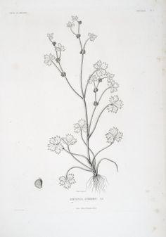 PLATES - Tentamen florae Abyssinicae - Biodiversity Heritage Library