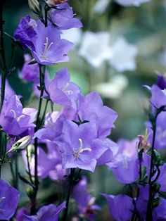 Bellflower in English or Cottage Garden