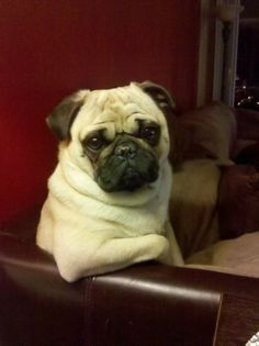 Mr. Pug says: So….come here often?
